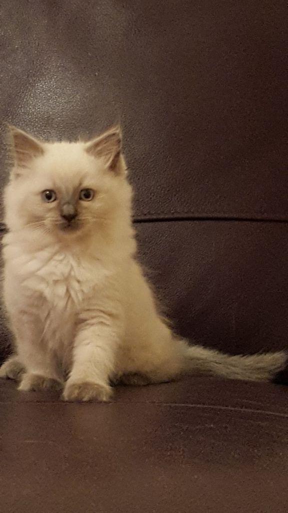 mitten_kitten